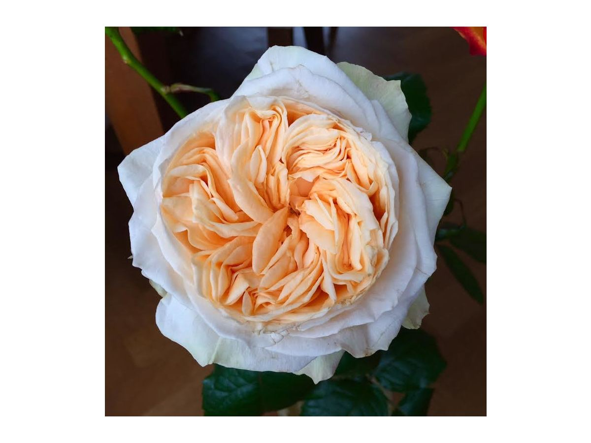 a beautiful peach garden roses - Peach Garden Rose