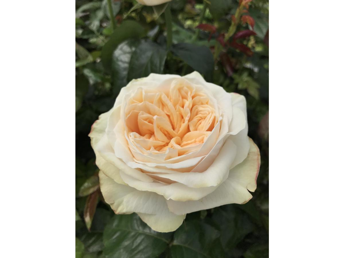 a beautiful peach garden roses - Peach Garden Rose