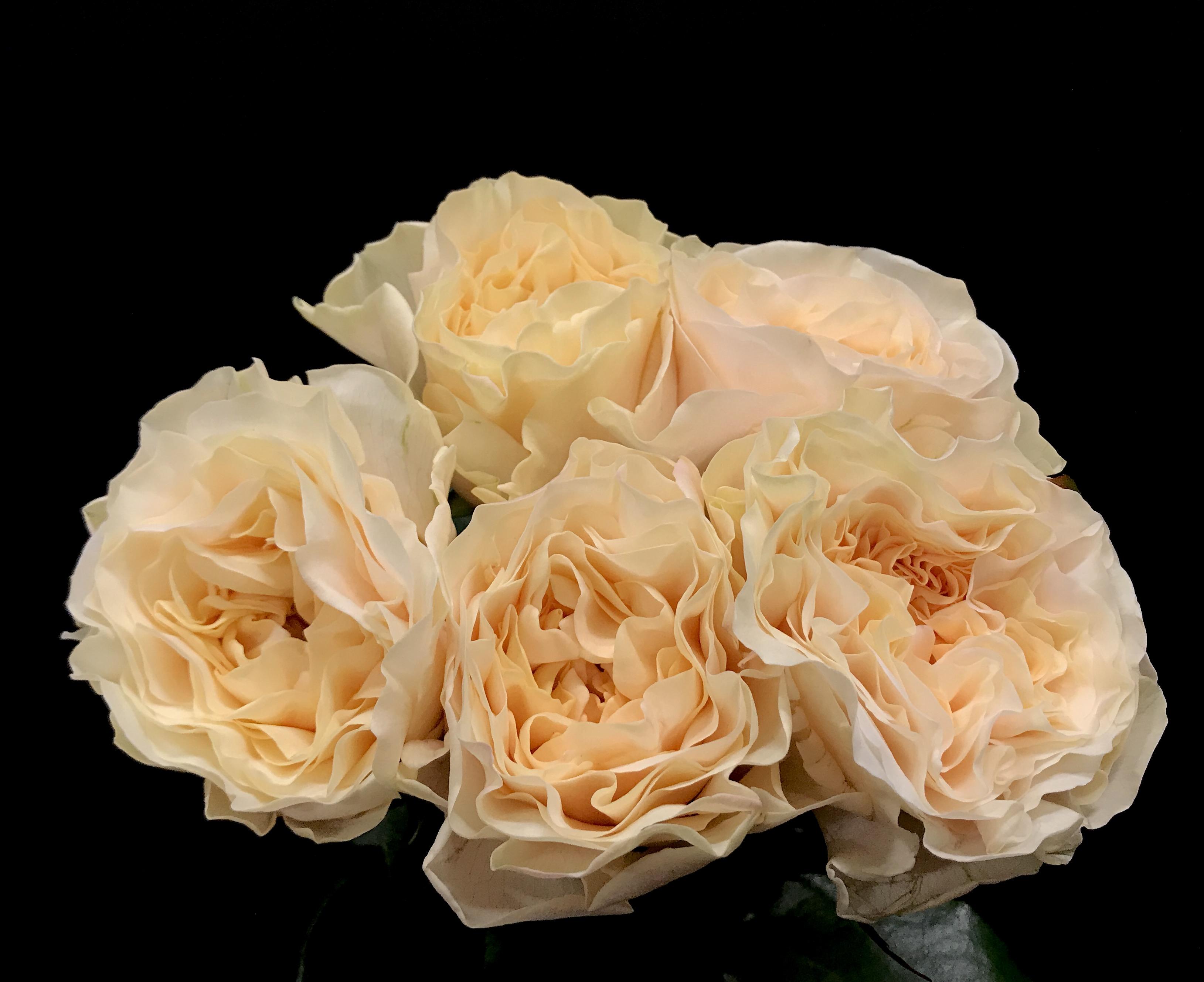 cream fragrance - Cream Garden Rose